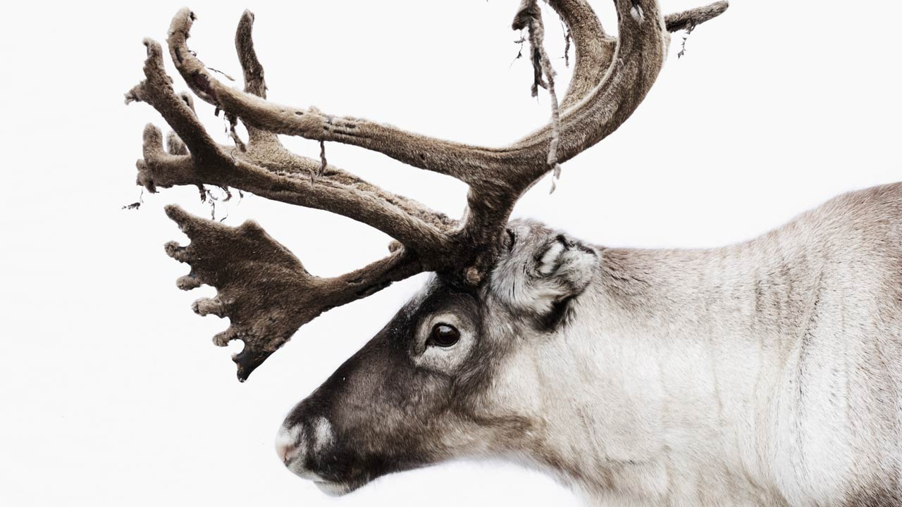 The reindeer Bulmmot, found at Nutti Sámi Siida in Jukkasjärvi.